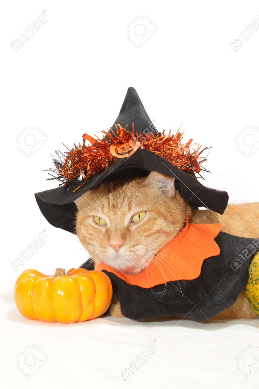 cute orange tabby in halloween costume stock photo, picture and