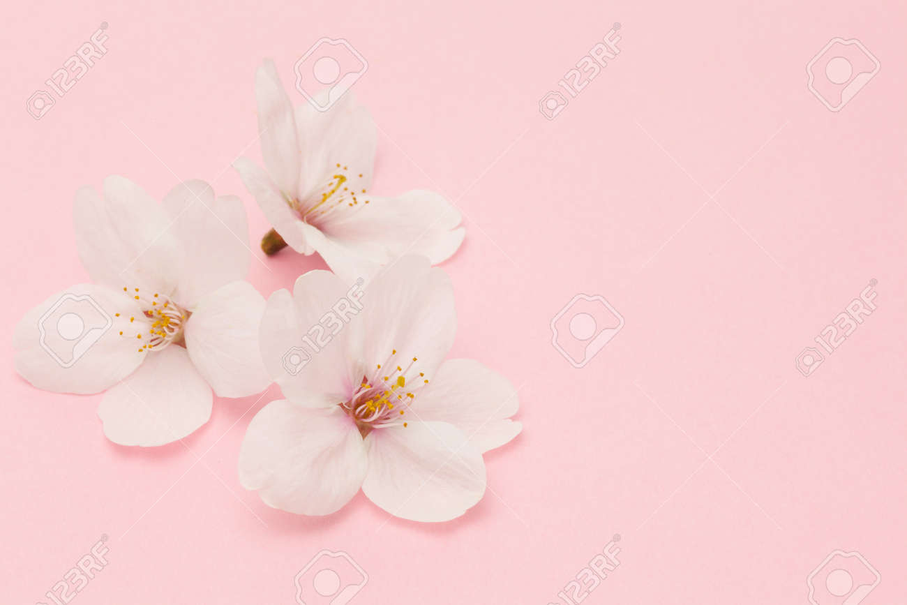 Cherry blossom isolated on pink background - 97904183