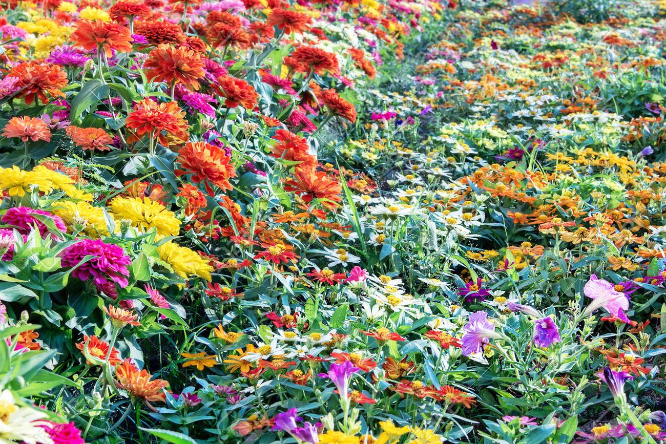 Fiore colorato in giardino foto royalty free immagini immagini e