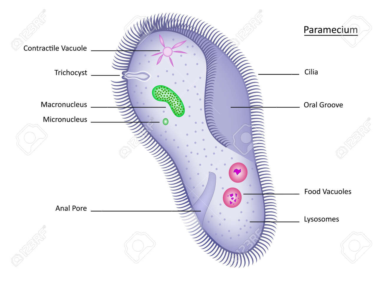 Colorful paramecium with clearly labeled structures royalty free colorful paramecium with clearly labeled structures stock vector 11675394 pooptronica Gallery