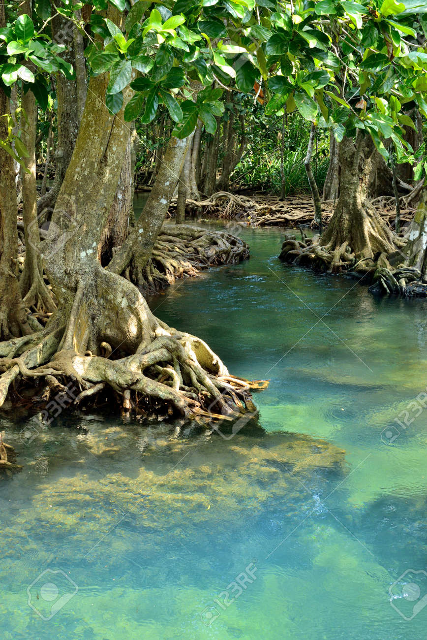 Mangrove forests   swamp   with river Stock Photo - 18335248