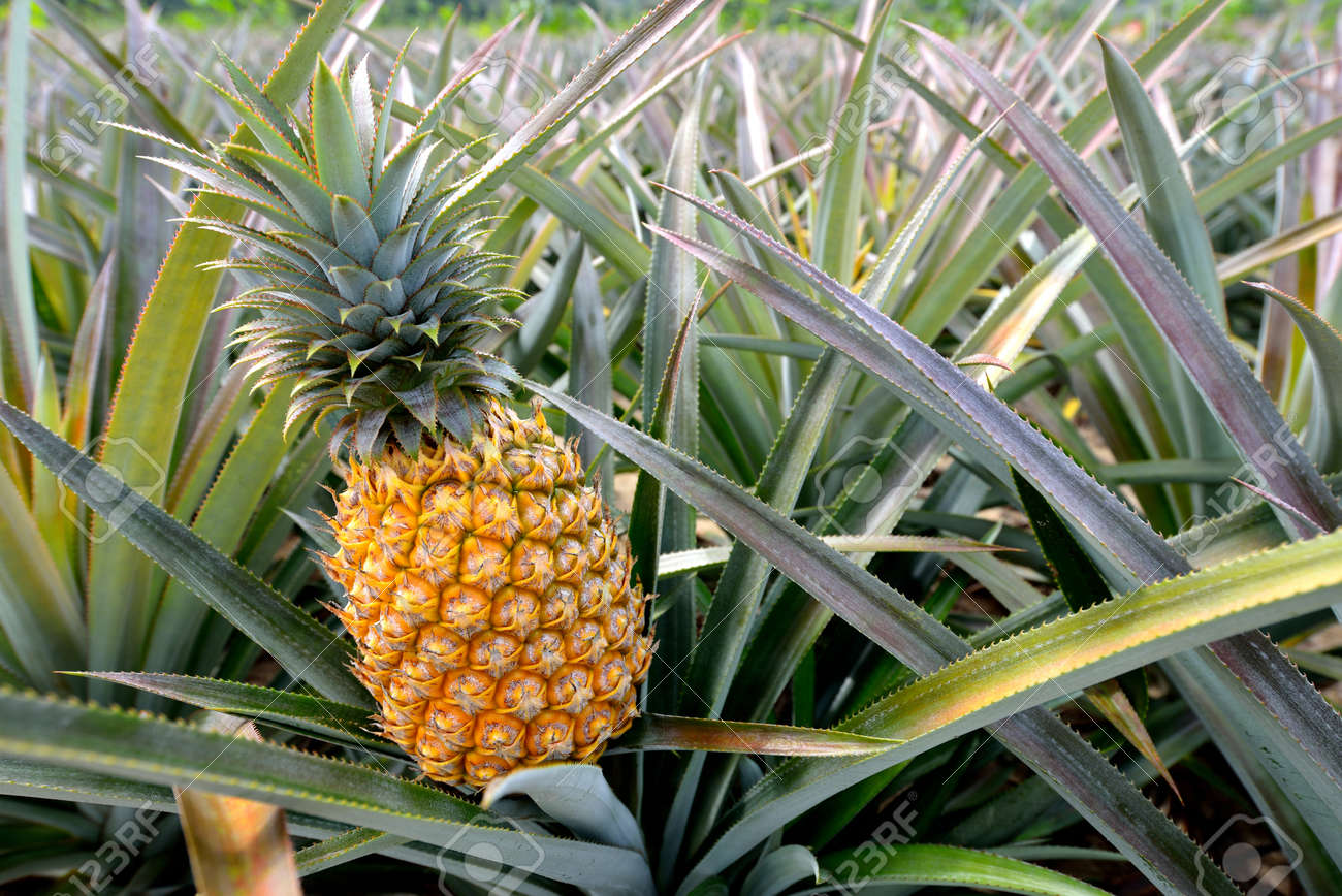 Pineapple tropical fruit growing in a farm Stock Photo - 26044809