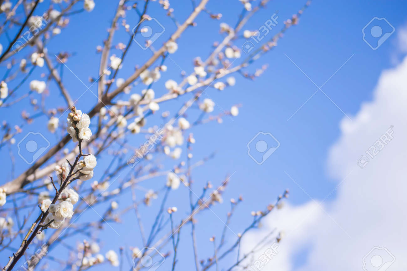 White Plum Flowers Yaesu Stock Photo Picture And Royalty Free Image
