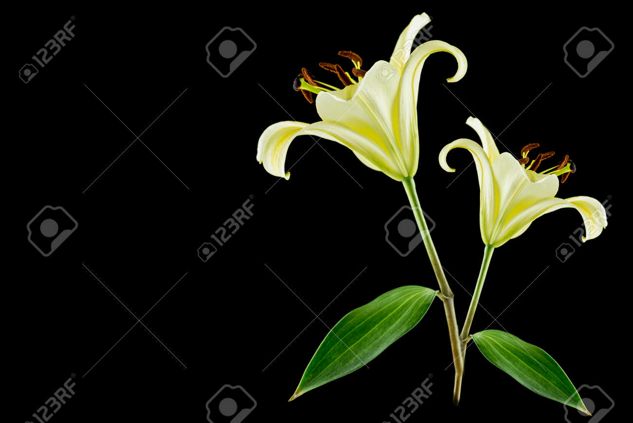 Yellow lily flower on black background royalty free stok fotoraf stok fotoraf yellow lily flower on black background mightylinksfo