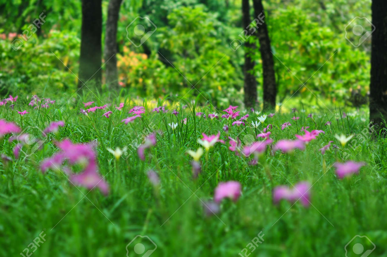 Field Of Pink Purple Zephyranthes Lily Or Rain Lily Flowers In