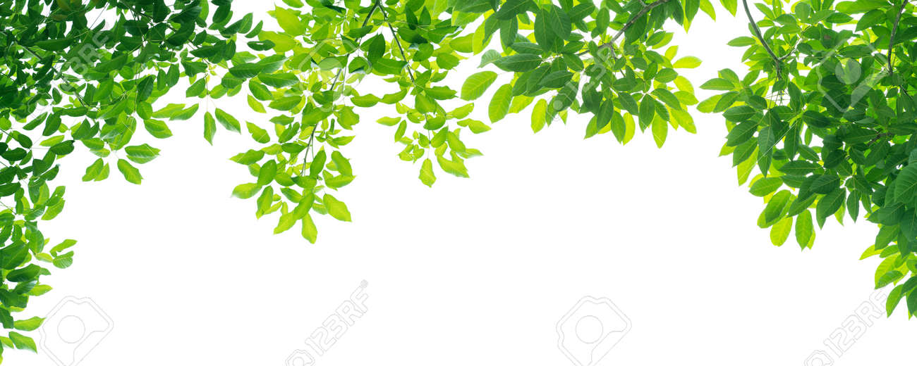 panoramic Green leaves on white background - 167238932