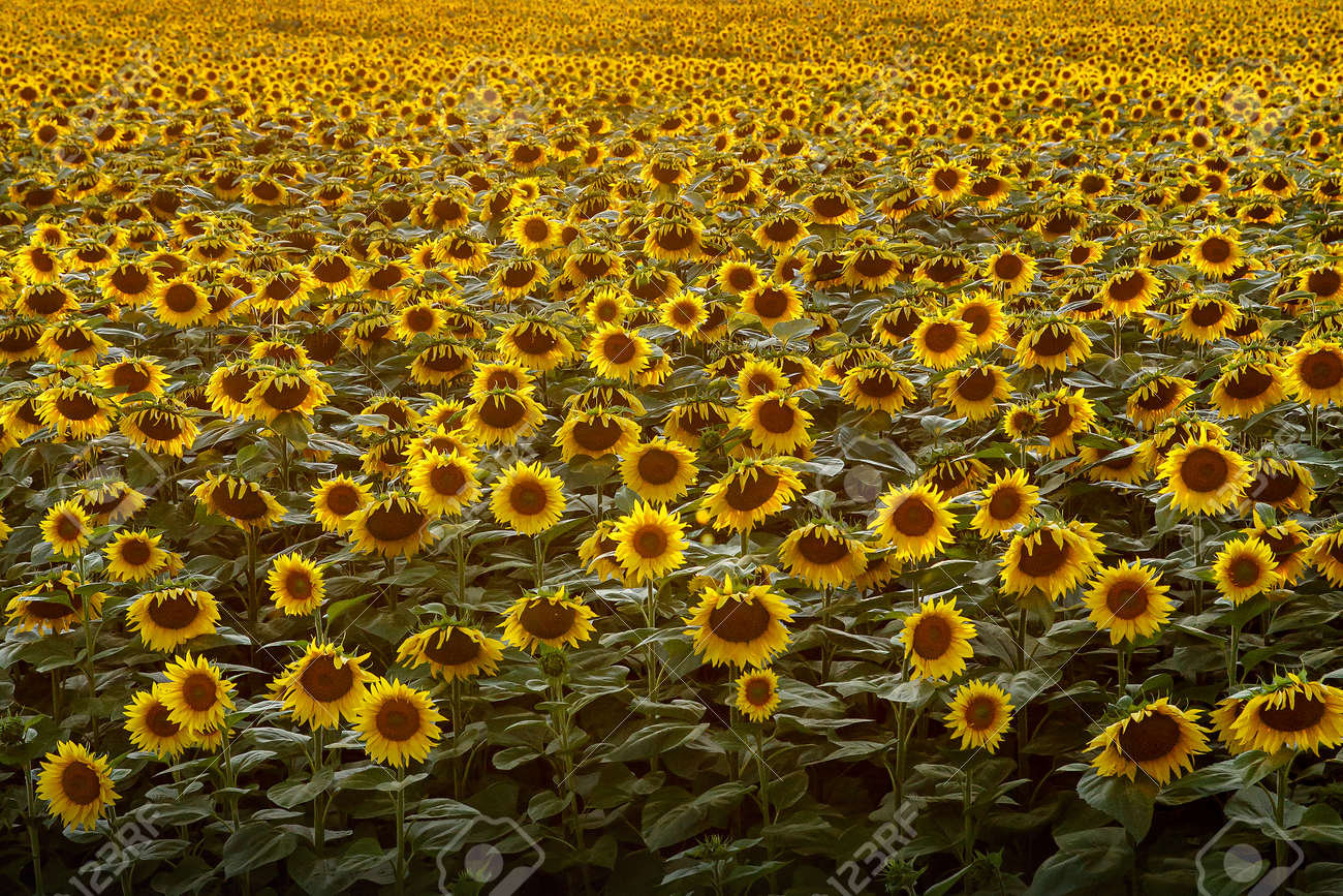 Sunflowers Natural Background Sunset Wallpaper With Sunflowers