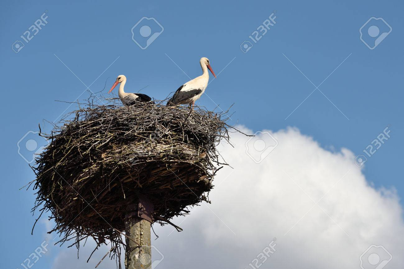 Storks in the nest, Lithuania, East Europe