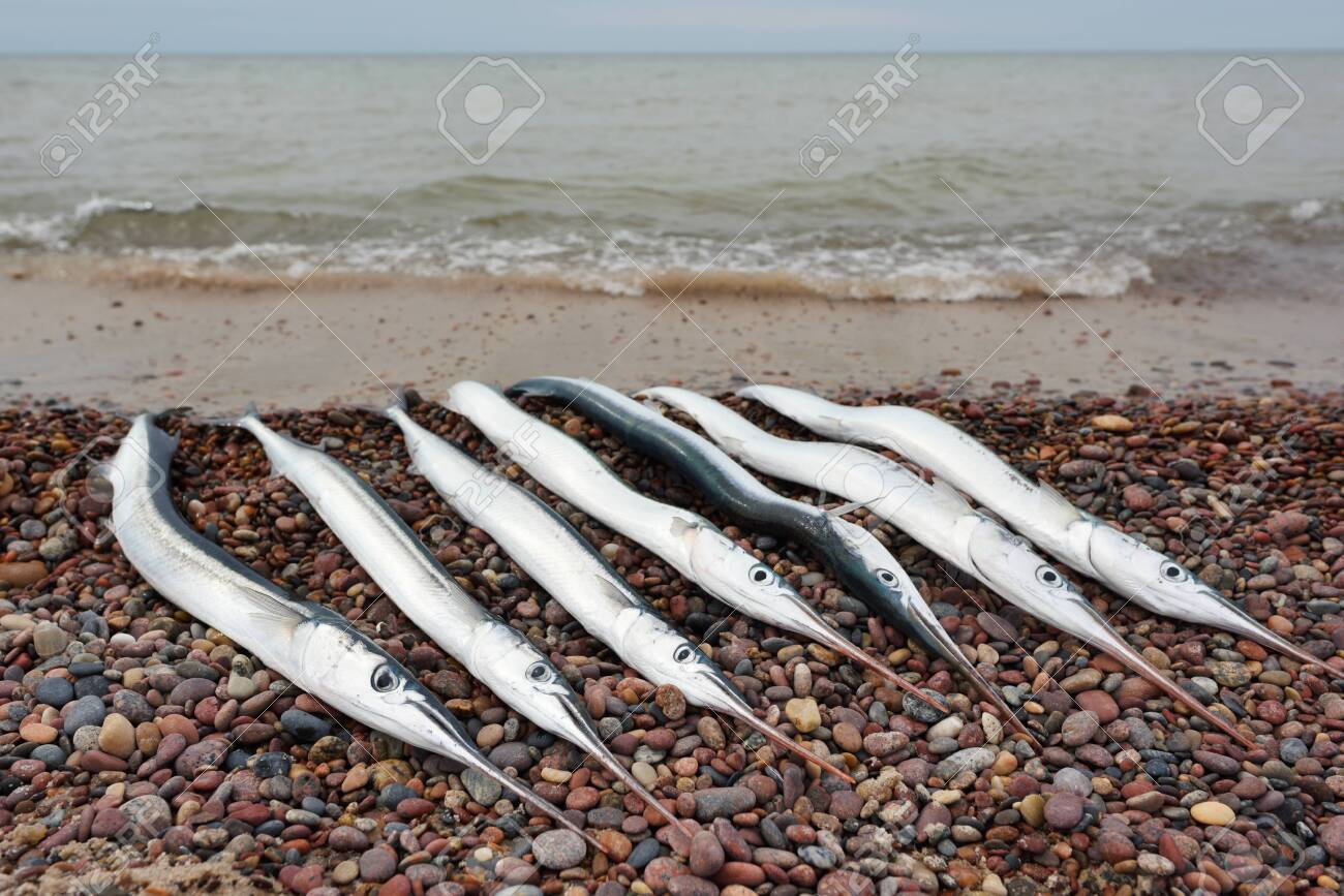 Garfish on pebble, caught at Baltic Sea coast - 148583645