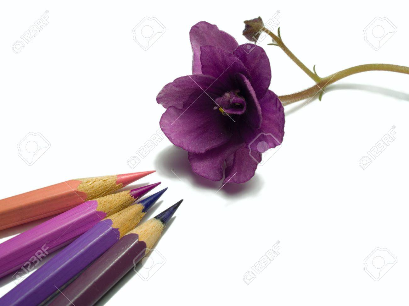 close-up of violet flower and pencils isolated on white Stock Photo - 790621