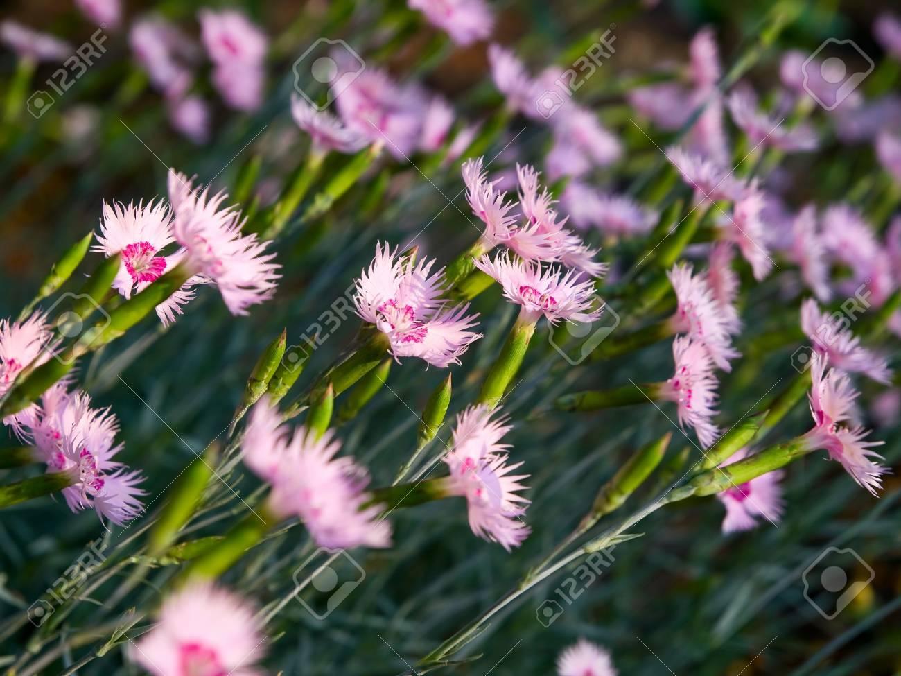 carnation flowers closeup. shallow dof Stock Photo - 5086107