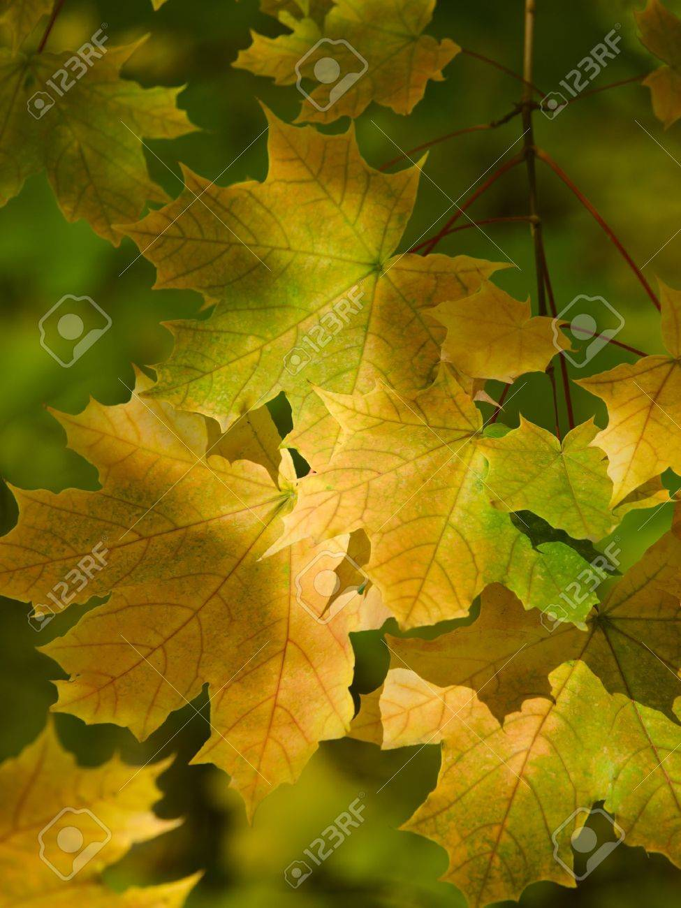 sunny maple leaves autumn landscape shallow dof Stock Photo - 8258195