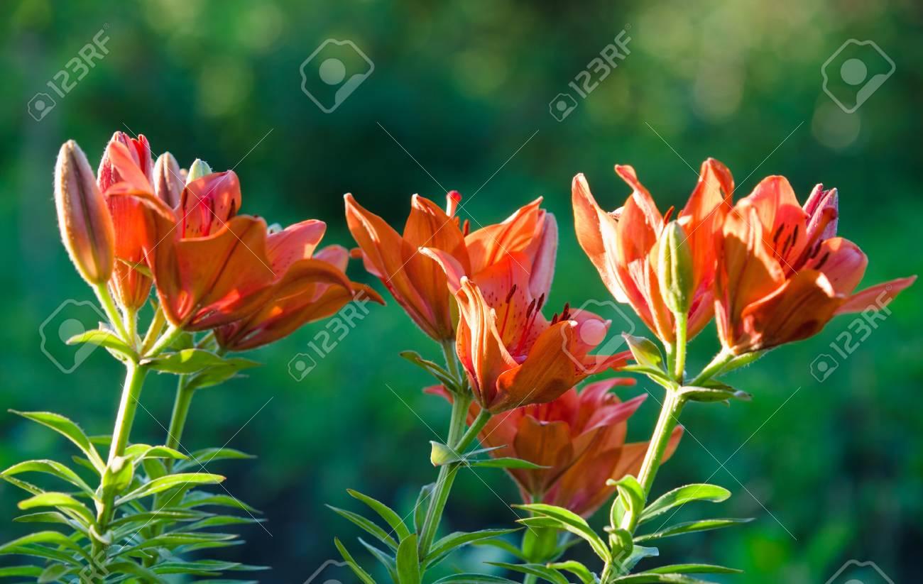 orange lily flowers closeup over green shallow dof Stock Photo - 12372732