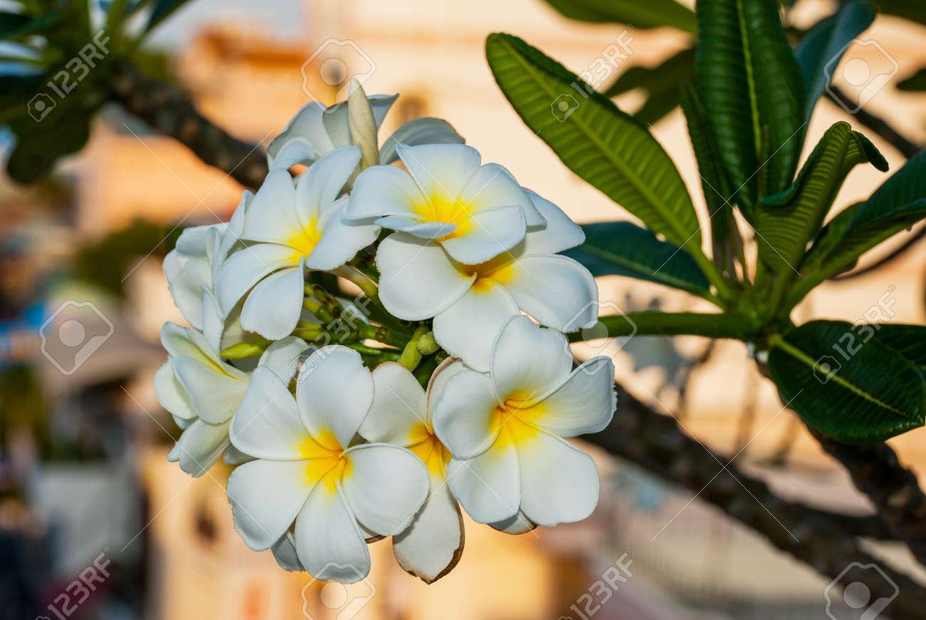 Frangipani Plumeria Beautiful White Flowers With A Yellow Center
