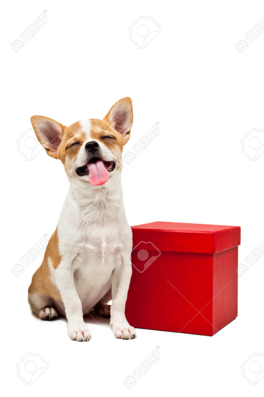 Pomeranian dog next to an red present box, over white Stock Photo - 12764555