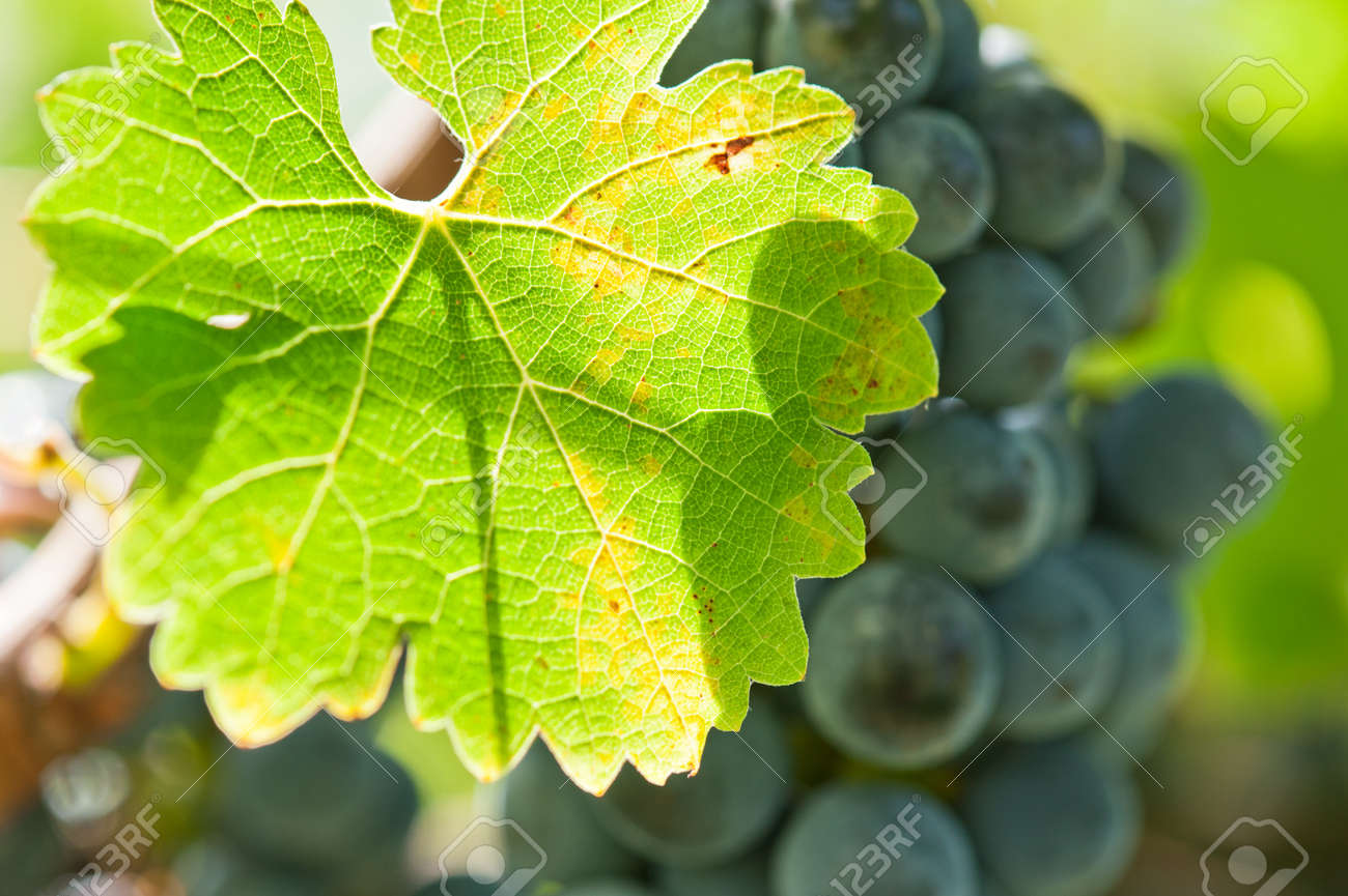 Ripe red wine grapes right before harvest in the summer sun Stock Photo - 13326333