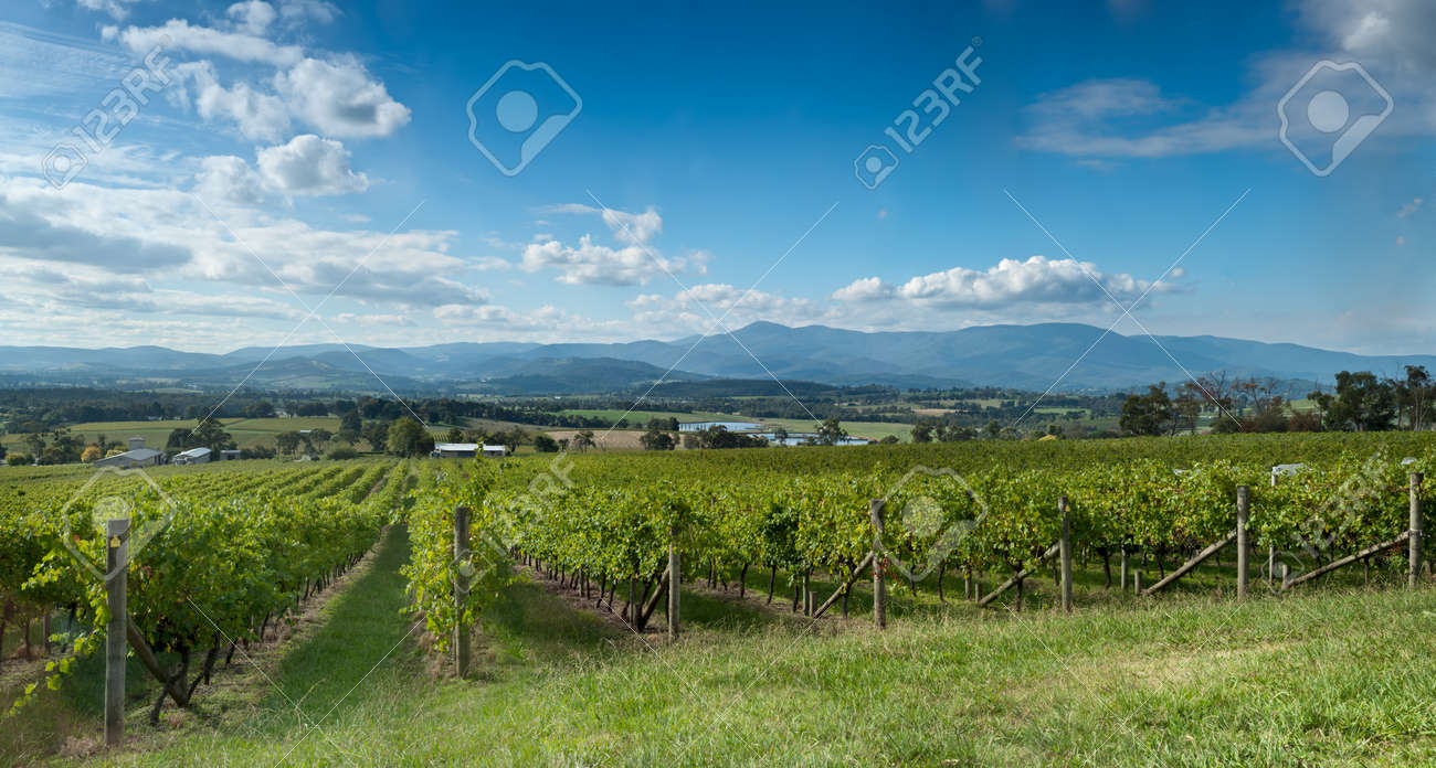 View of vine in the Yarra Valley, near Melbourne, Australia Stock Photo - 13397328