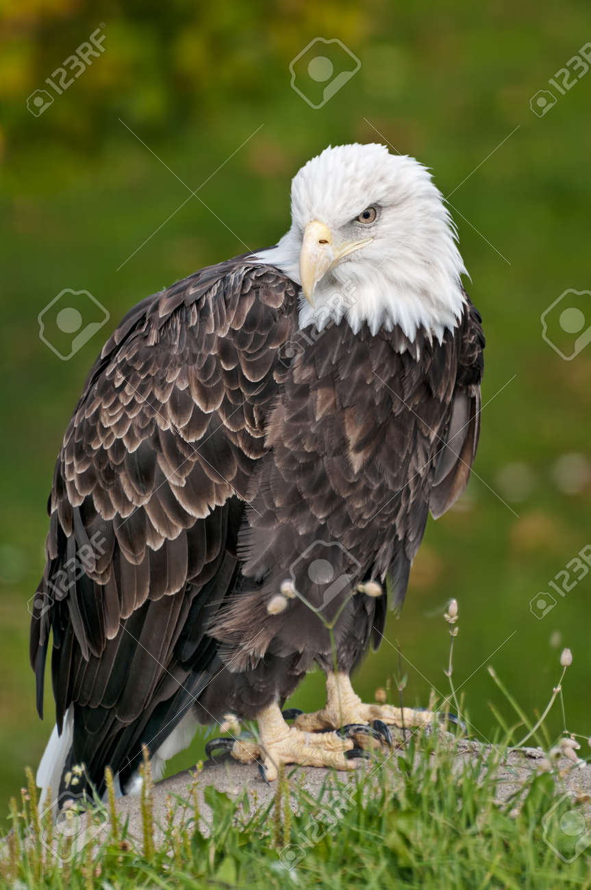 bald eagle sitting on rock in front of green shrubsba Stock Photo - 16385104