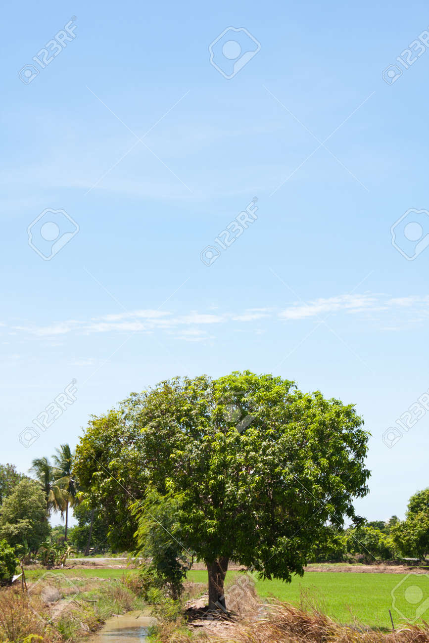 tree and the field rice on the blue sky in the thailand Stock Photo - 7220756