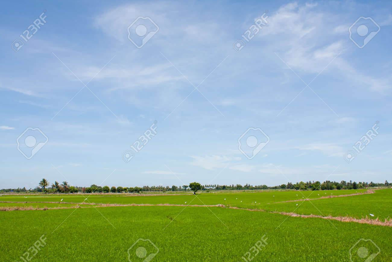 field rice and the blue sky in the thailand. Stock Photo - 7220762