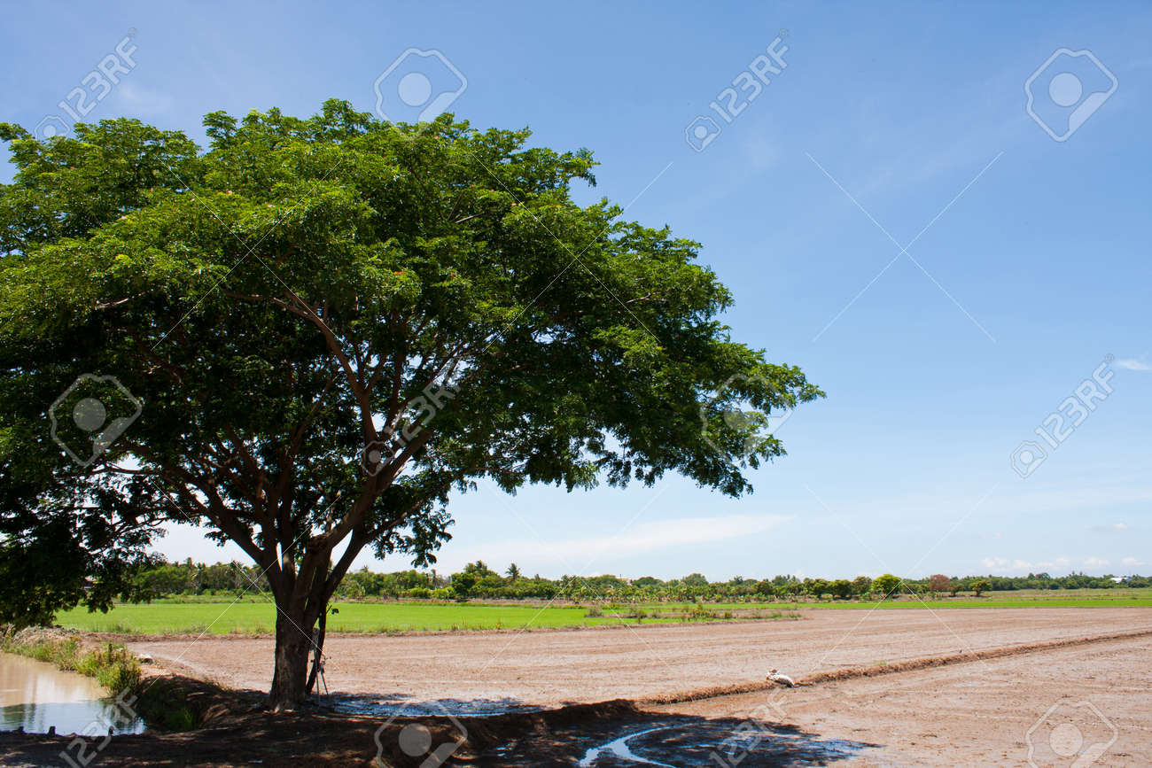 tree and the field rice on the blue sky in the thailand Stock Photo - 7220872