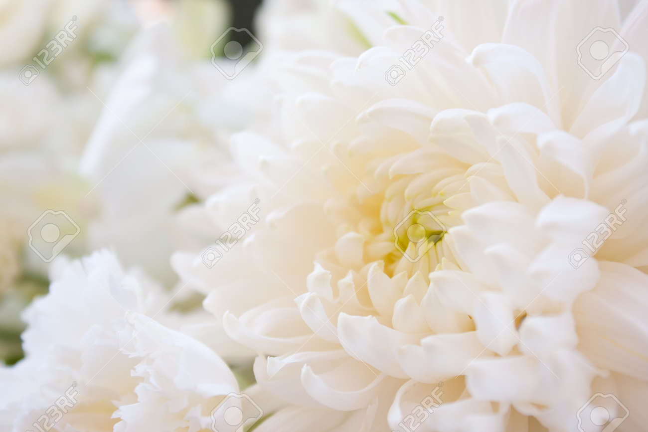 Among White Pure White Flowers Fresh Clean Look And Help Stock