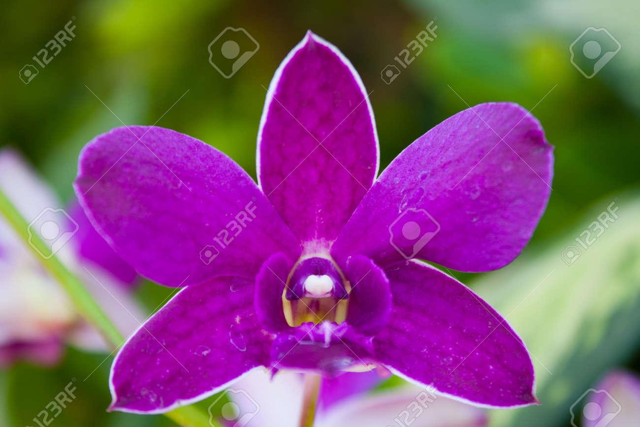 Yen Orchid Color. Yen Cho Orchids Bloom Color Is A Fresh Bouquet ...