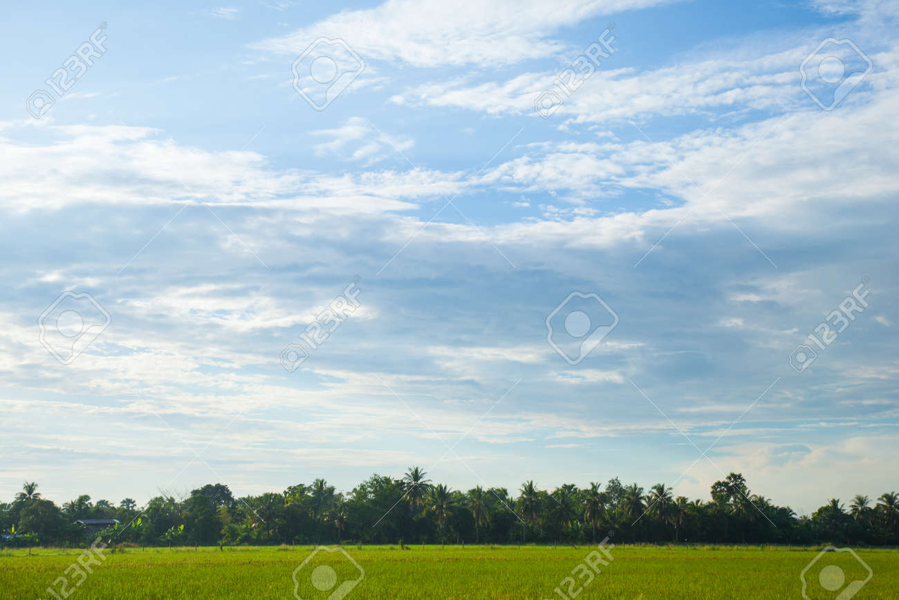 Rice fields in the morning. Morning sun and bright blue sky with little clouds. Stock Photo - 15791276
