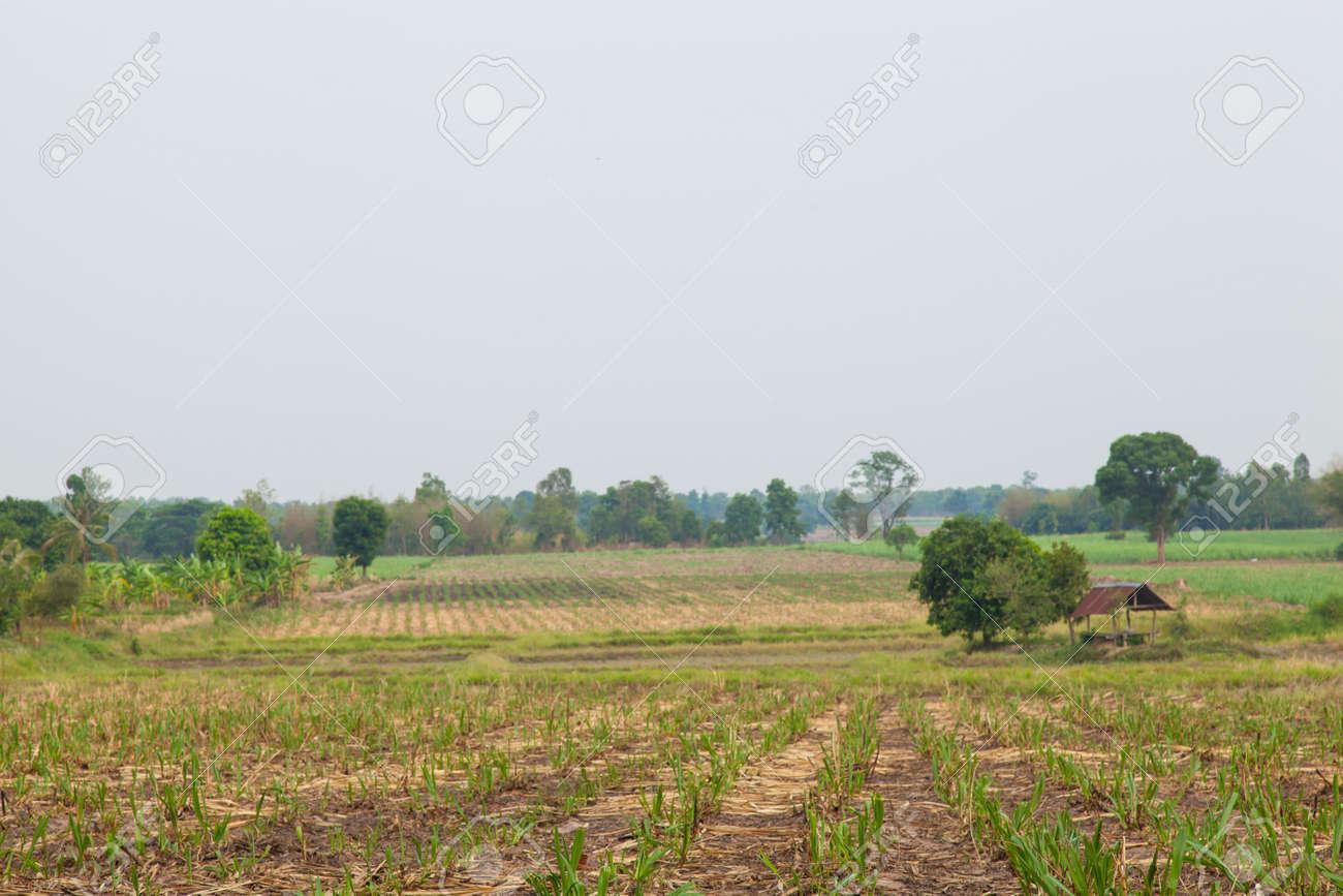 Zuckerrohr Anbauflache Zuckerrohr Zu Zucker Zu Produzieren Ein