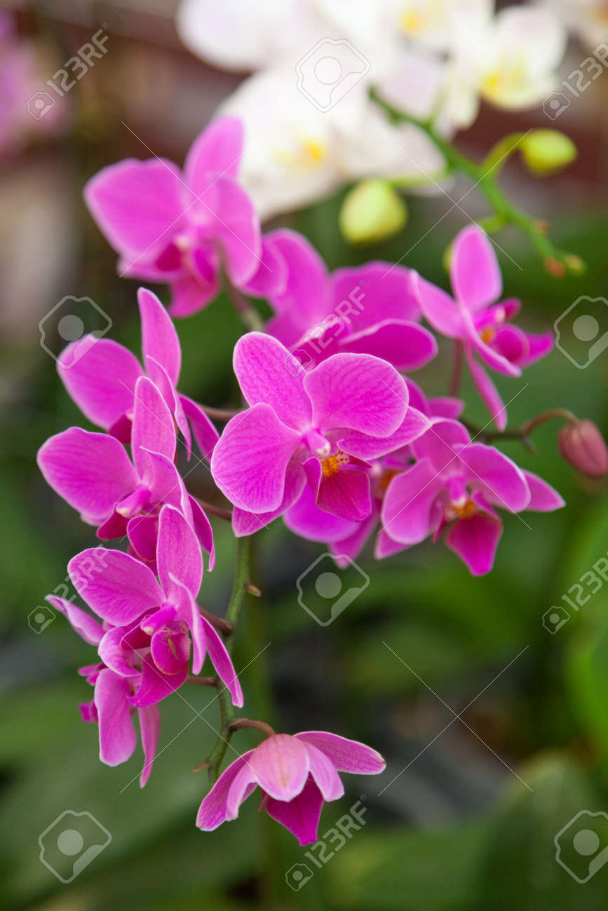 Orchid flowers pink bouquet of flowers on branches stock photo orchid flowers pink bouquet of flowers on branches stock photo 40390632 izmirmasajfo