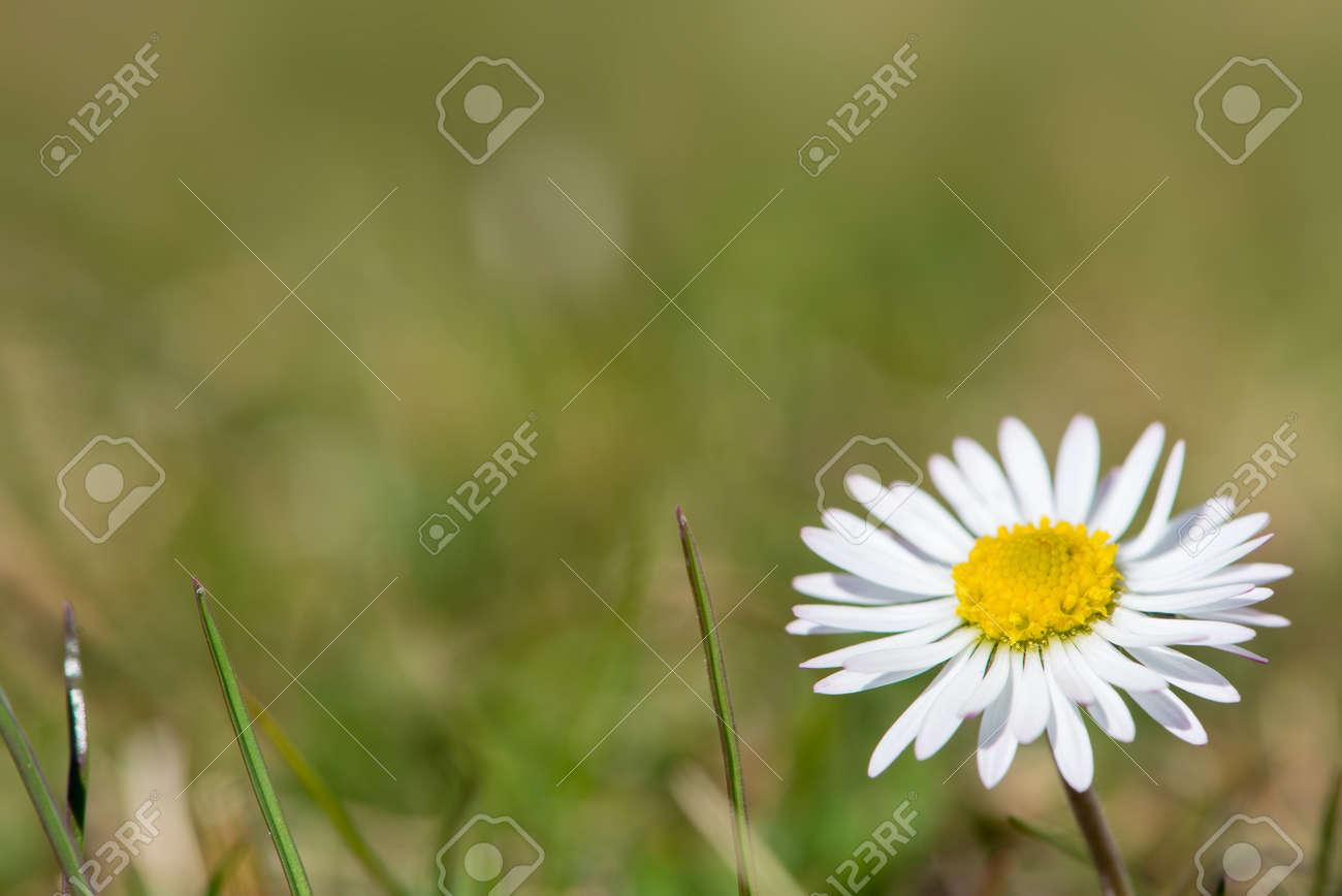 Fleur Blanche Gowan Marguerite A La Fleur Jaune Dans Un Pre Vert