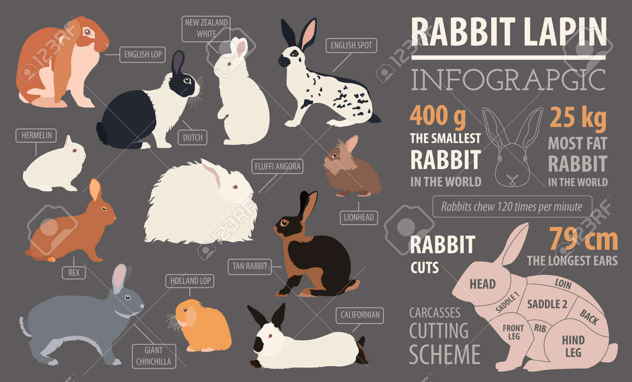 Rabbit, Lapin Breed Infographic Template. Flat Design. Vector ...
