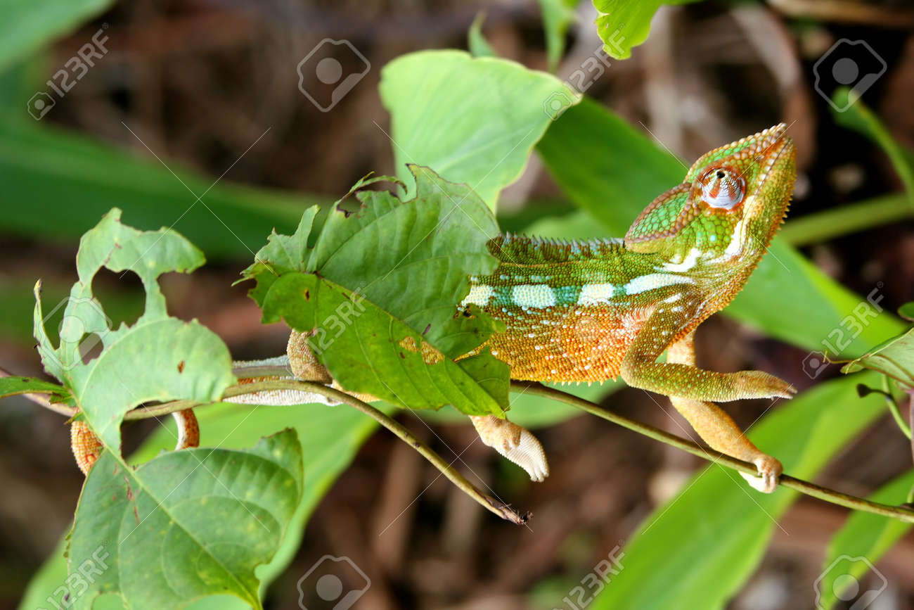 9b42b9698088 Small colourful chameleon in the tropical madagascar rainforest Stock Photo  - 8077131