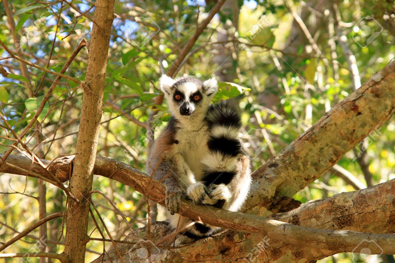 b3368bfff13e Ring-tailed lemur among dense bush in Anja Reserve Stock Photo - 8077284