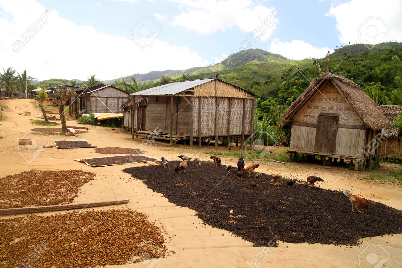 Coffee beans drying in small Malagasy village in Masoala National Park in Madagascar on the route from Maroantsetra to Antalaha Stock Photo - 12337436