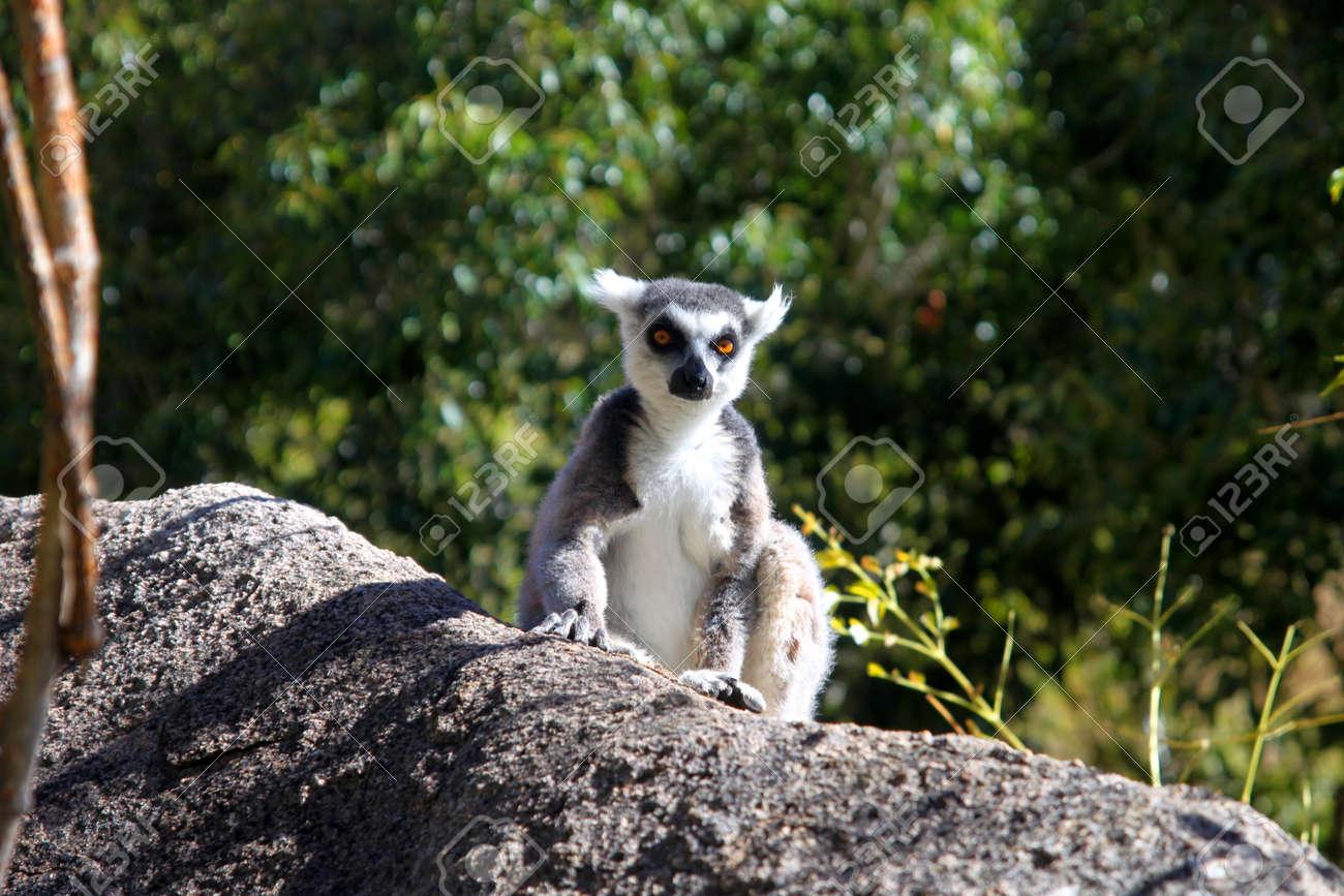 21698c70cb12 Ring-tailed lemur catching sun on the rock Stock Photo - 13174412