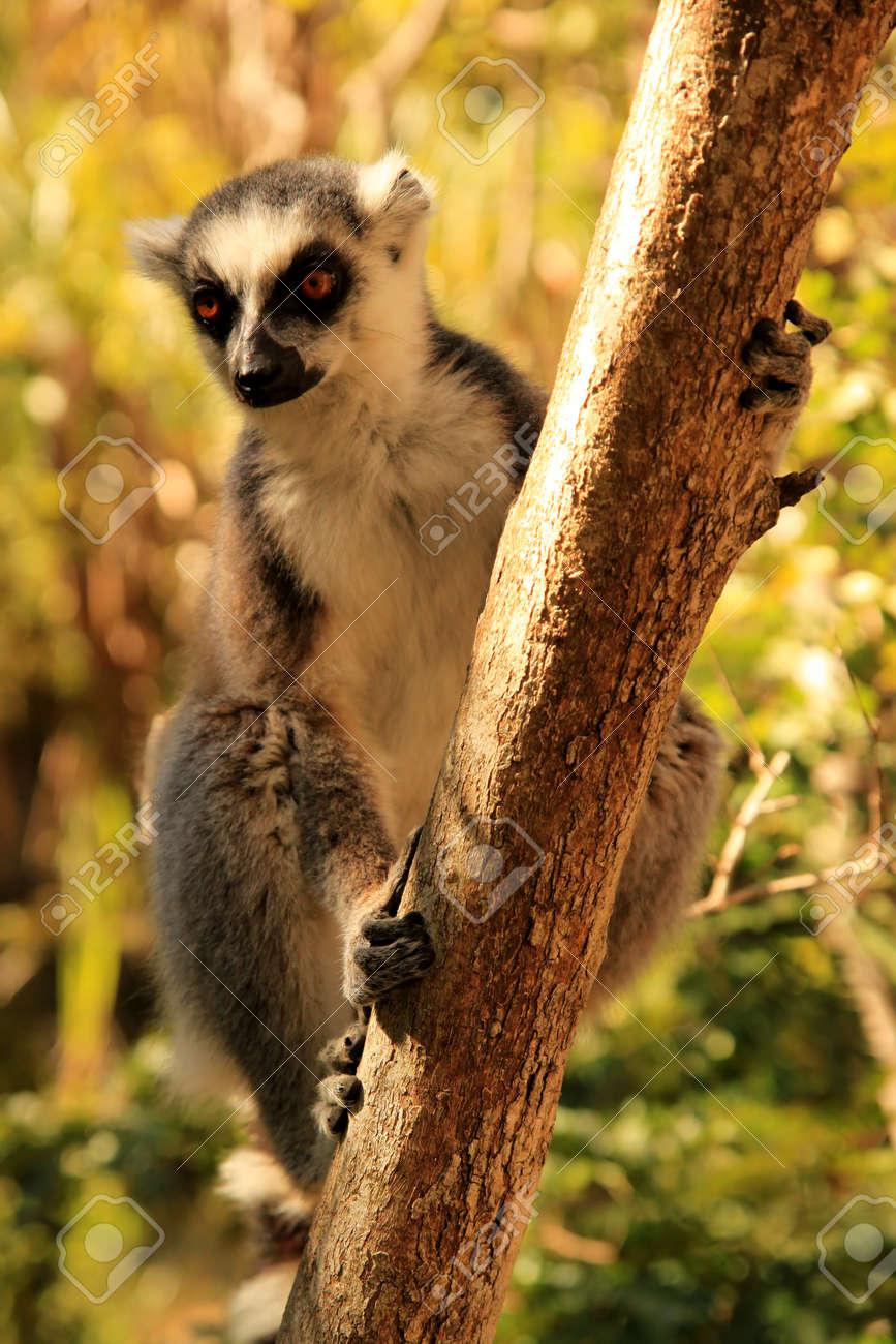 9d9a2489d8b3 Ring-tailed lemur among dense bush in Anja Reserve Stock Photo - 13174416