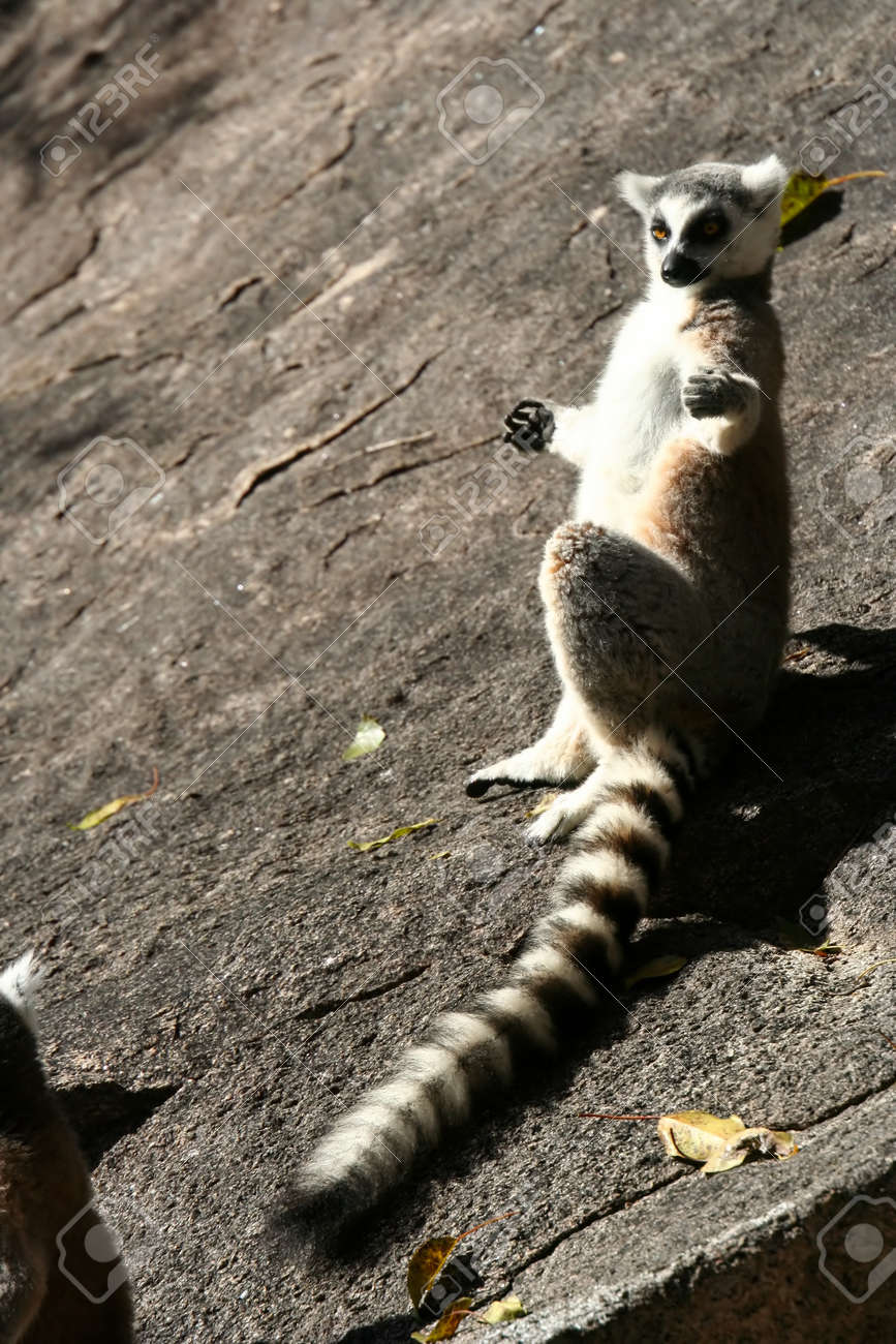 247e36fcc4e0 Ring-tailed lemur catching sun on the rock Stock Photo - 13174411