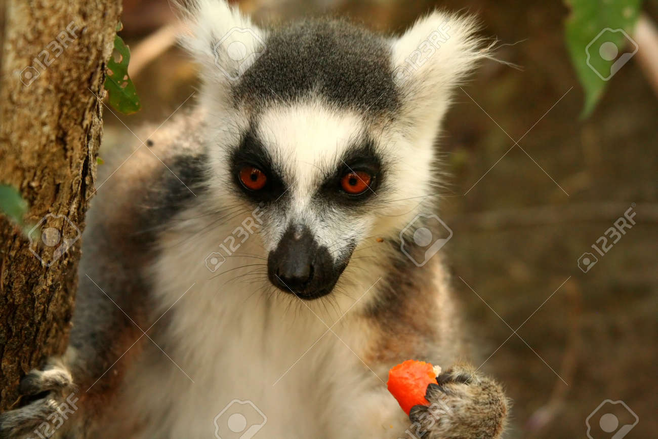 1fdf5e44b6ee Lemur eating mandarin snatched from tourist backpack Stock Photo - 13174410
