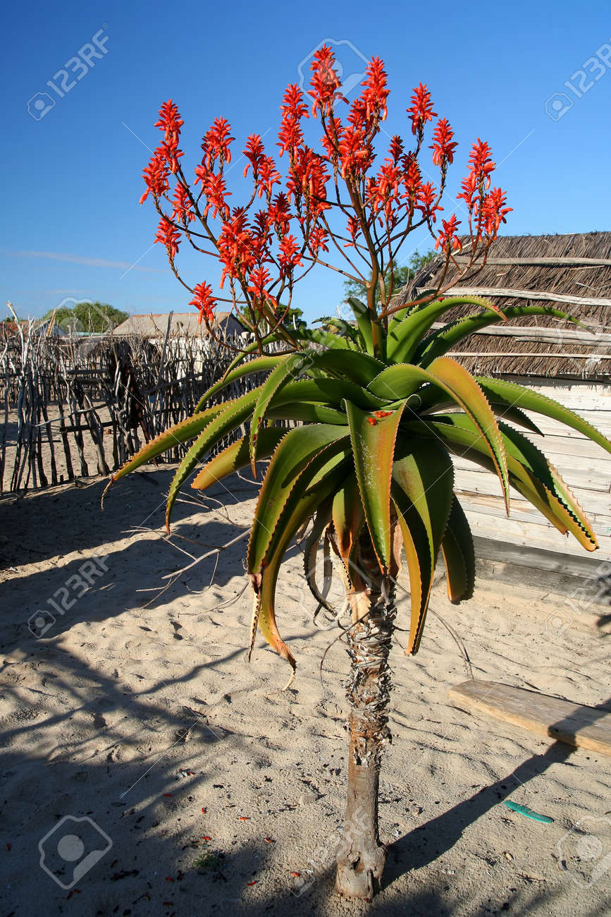 Red Flowers Of Aloe Vera Plant In Madagascar Stock Photo Picture