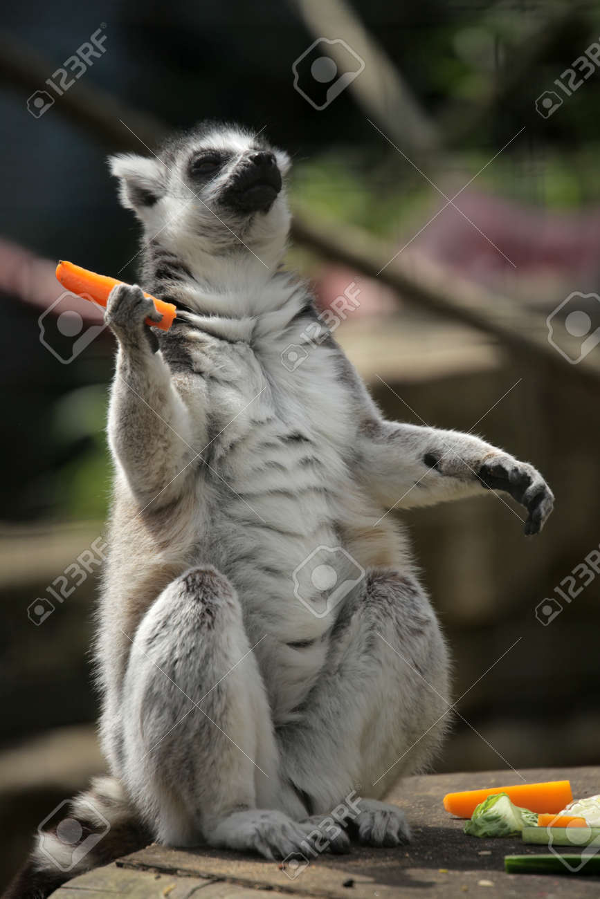 2f695f8ef7b9 Ring-tailed Lemur Devouring Carrot In Battersea Childrens Zoo ...