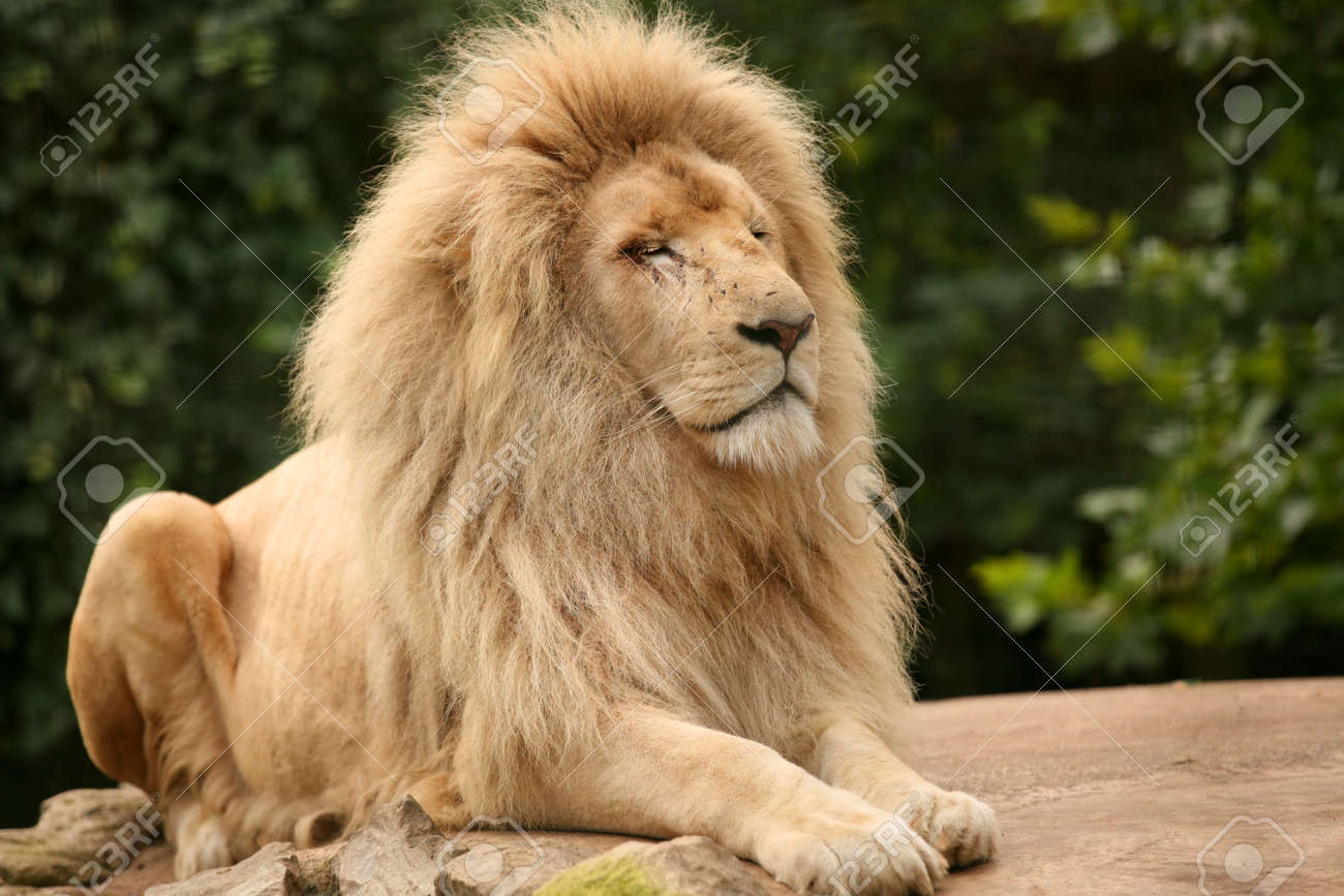 Portrait of an old lion sitting on a rock - 22883645