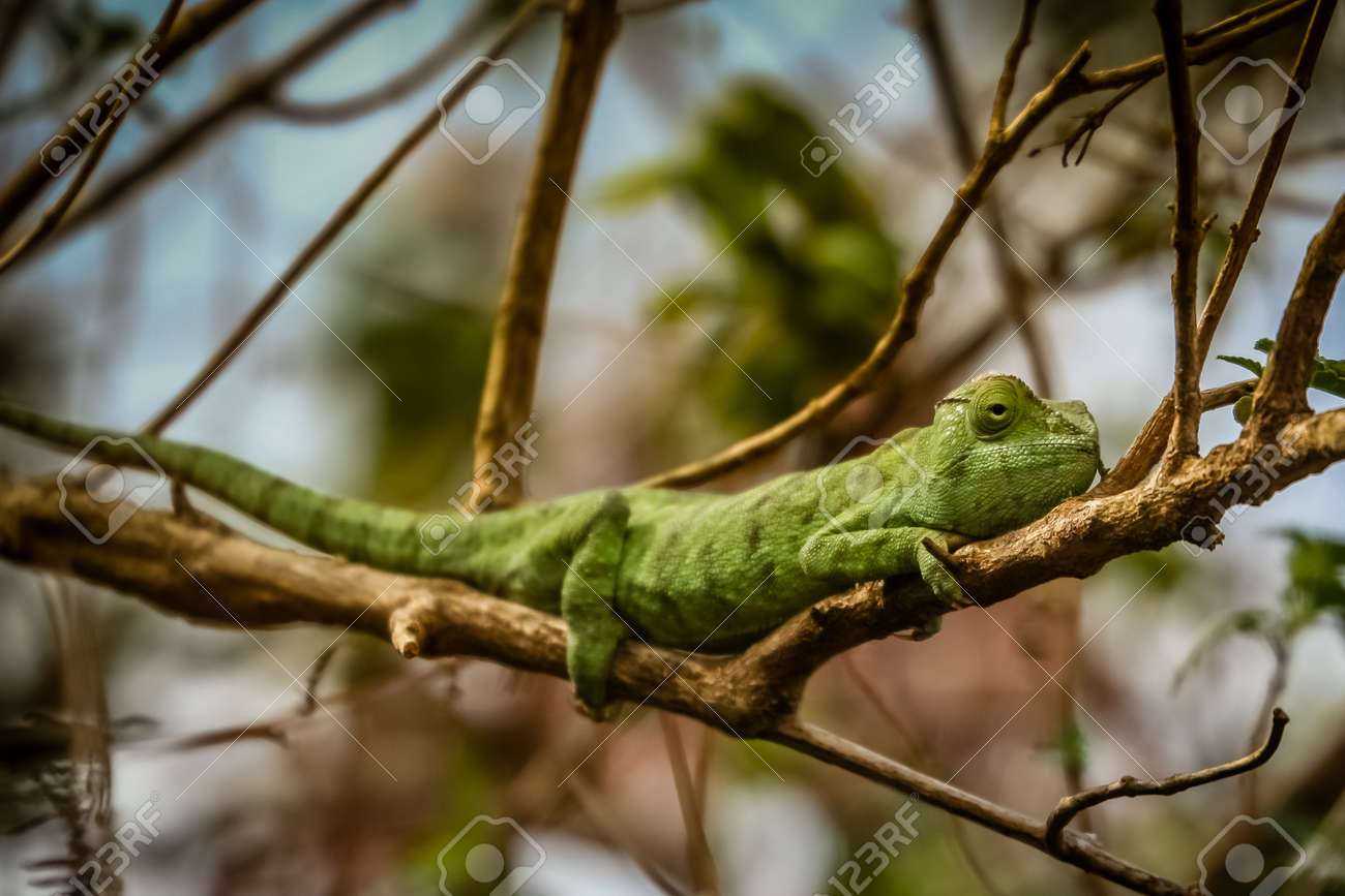 d05fb203c8dd Chameleon catching sun on the small branch Stock Photo - 31414842