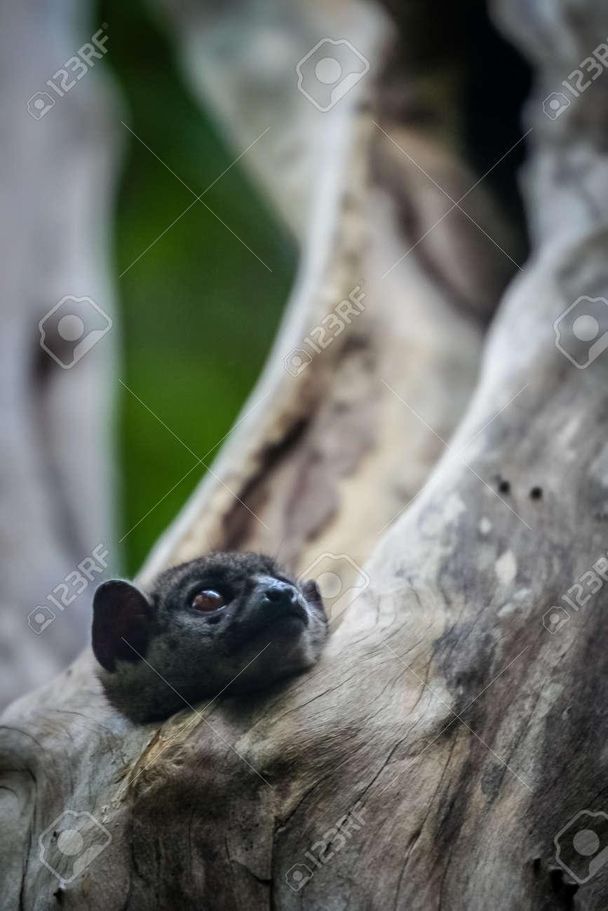 c9a7d5aa894d Small Lepilemur Ankaranensis (Ankarana Sportive Lemur) hiding in a tree