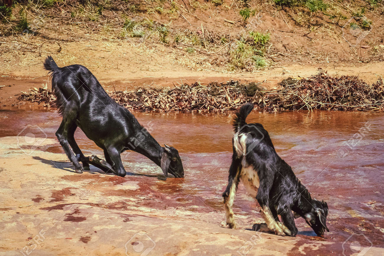 two thirsty goats drinking water from mountain spring stock photo