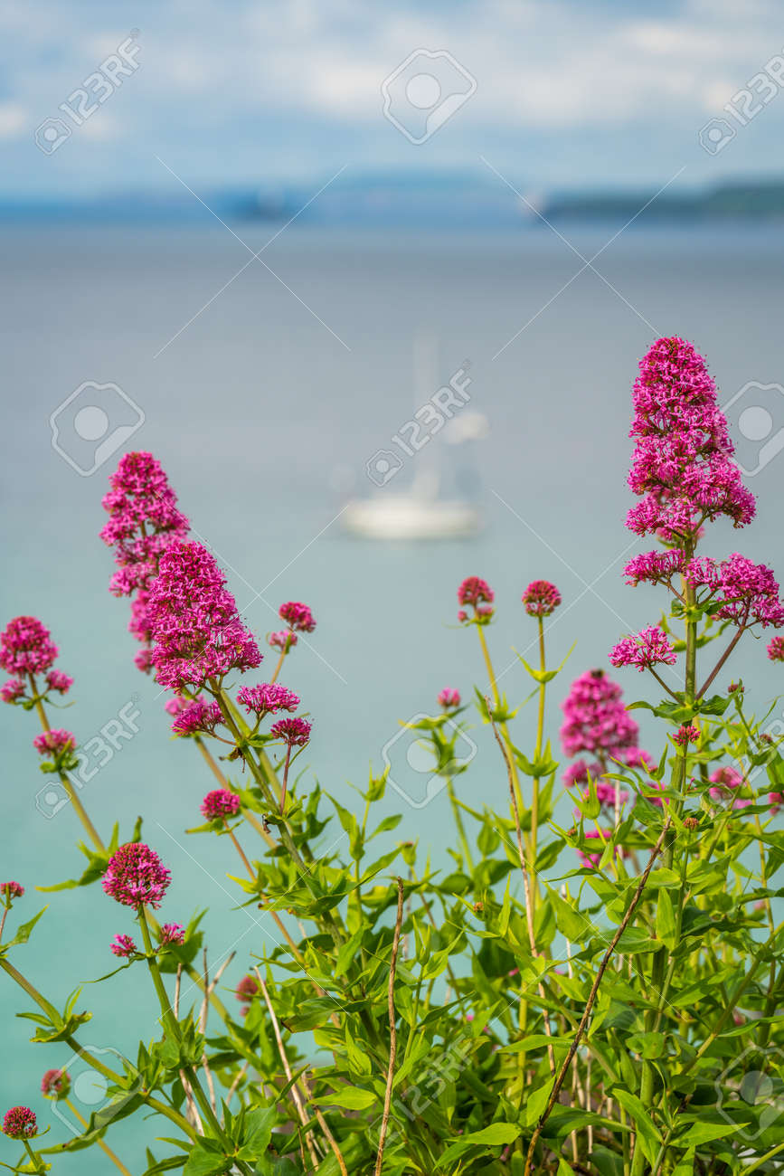 Pink Flowers In Front Of Defocused Bay And Beach In St Ives
