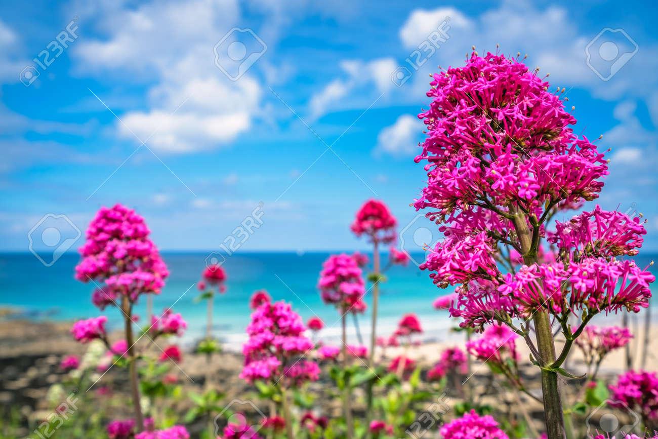 Pink Flowers Growing Above St Ives Premier Golden Porthmeor Beach