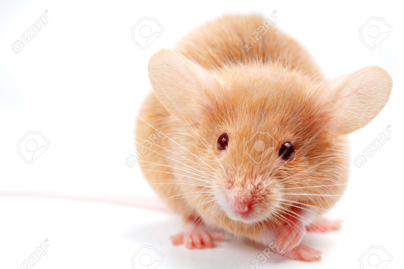 cute mouse on white stock photo picture and royalty free image