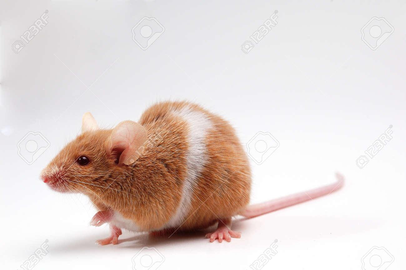 Süße Maus Auf Weiß Lizenzfreie Fotos Bilder Und Stock Fotografie