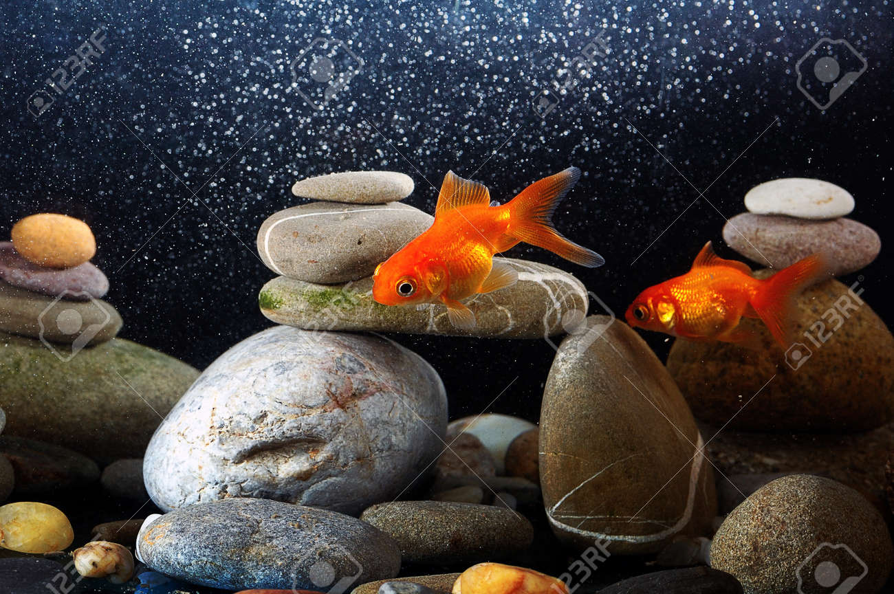 couple goldfish in aquarium over well-arranged zen stone and nice bokeh of bubbles Stock Photo - 12805331